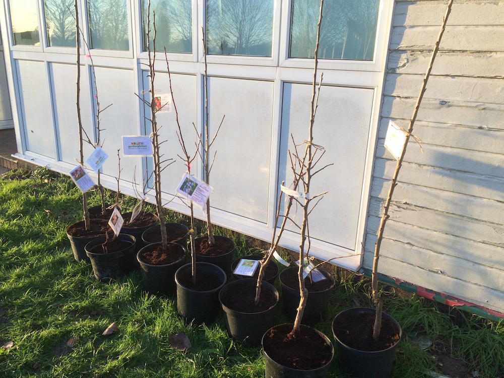 Fruit trees planted in pots whilst the orchard area is prepared